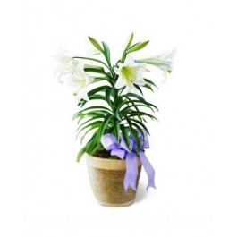 EB-639 Easter lily plant