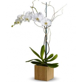 Orchid Plant EB-119