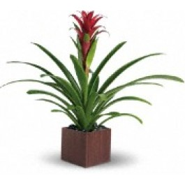Red Bromeliad  EB-219