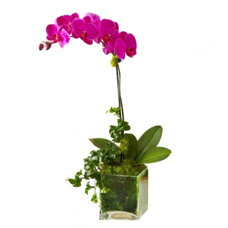 Blooming orchid EB-530