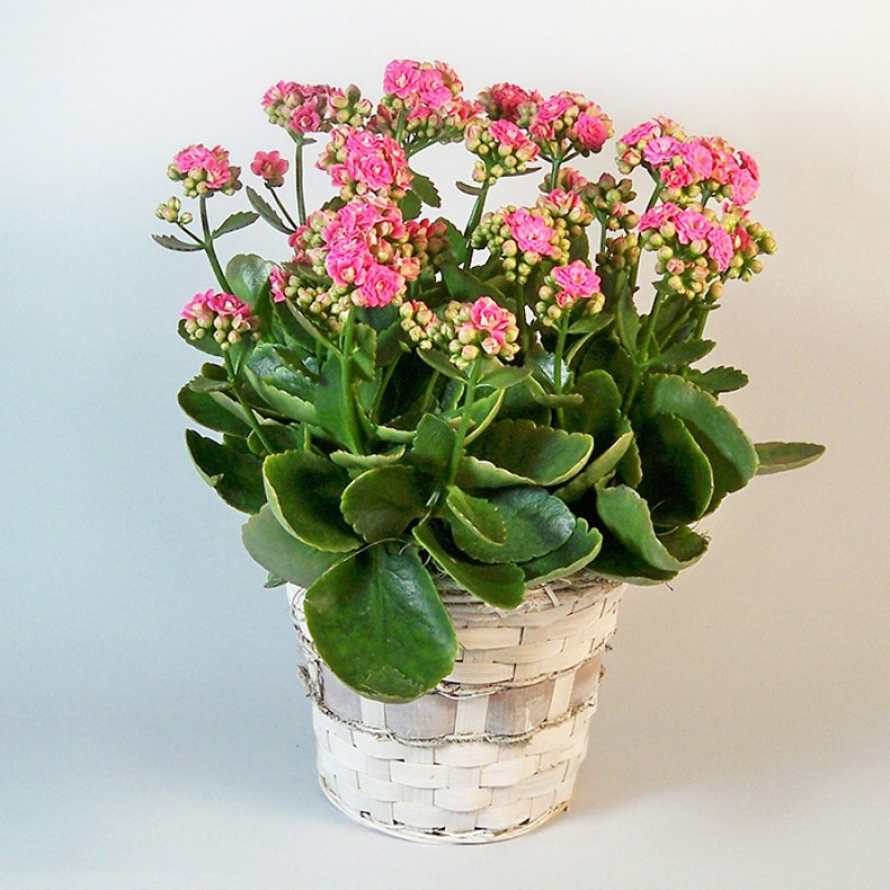 Pink Kalanchoe plant EB-528