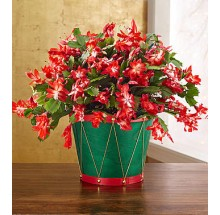 Christmas cactus EB-186