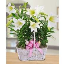 EB-640 Double Easter Lilly plants