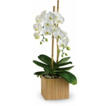 Double Orchid Splender EB-190