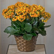 Orange kalanchoe plant EB-532