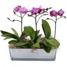Orchid Serenity EB-442