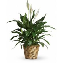 Peace lily plant EB-98