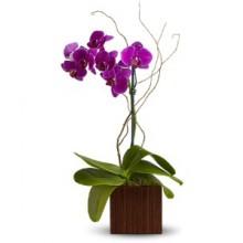 Purple orchid Plant EB-529